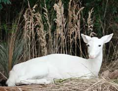albino_deer_LS
